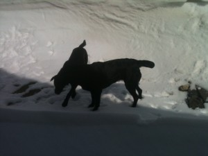 Two loopy labs playing in snowdrift